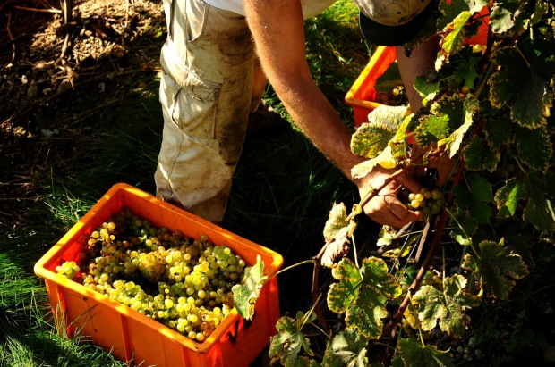 Image result for Lavaux grapes